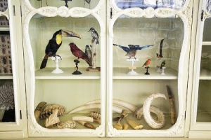 cabinet curiosity curiosities animals taxidermy stuffed nature horns antlers shells bones display museum French German toucan birds tusks